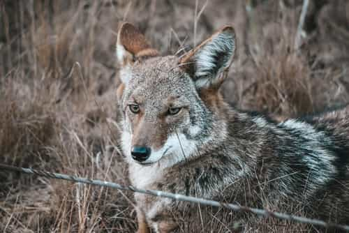 Trap Body Wolf Coyote Trail Beaver Paw Bait Hunting Trapping